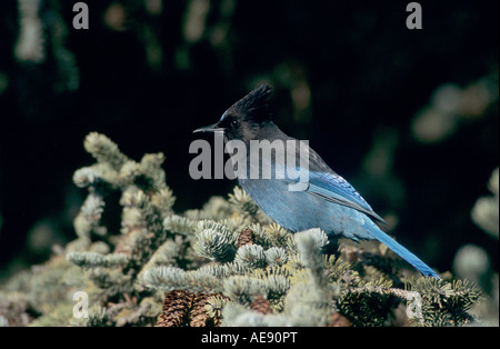 Steller Jay Cyanocitta stelleri adulto su Abete rosso Homer Alaska USA Marzo 2000 Foto Stock