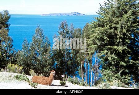 Llama sull' isola del sole, Inti Wata complesso culturale, il lago Titicaca e la luna isola dietro, vicino a Copacabana, Foto Stock