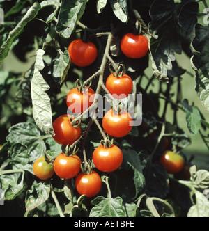 Raccolto maturo di pomodori ciliegia varietà è giardinieri delizia in serra Foto Stock