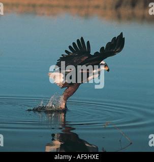 Pesce Eagle scendere per cercare di catturare il pesce dall'acqua Okavango Delta Botswana Sud Africa Foto Stock