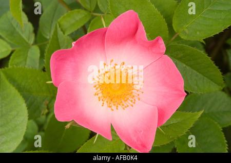 Rosa e rosa gialla fiore closeup Rose Rosaceae Rosa x bifera remontanty Sir du President Porchet