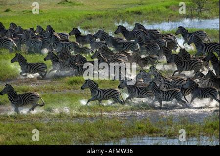 Zebra mandria in esecuzione attraverso la palude fotografato dall'aria Okavango Delta Botswana Foto Stock