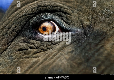 Close up di elefanti africani s eye Botswana