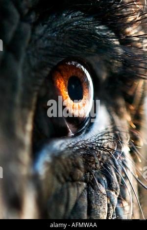 Ravvicinata di un occhio di un elefante indiano Jaipur India Foto Stock