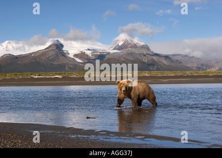 Grizzly cercando per il salmone nel fiume a Hallo Bay Katmai National Park in Alaska Foto Stock