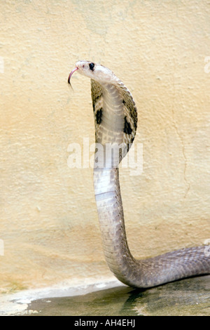 Indian Spectacled Cobra. India Foto Stock
