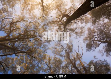 Sunray attraverso la nebbia di mattina, Dandenong Ranges, Victoria, Australia