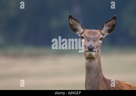 Rosso Cervo femmina Richmond Park Londra Inghilterra REGNO UNITO Foto Stock