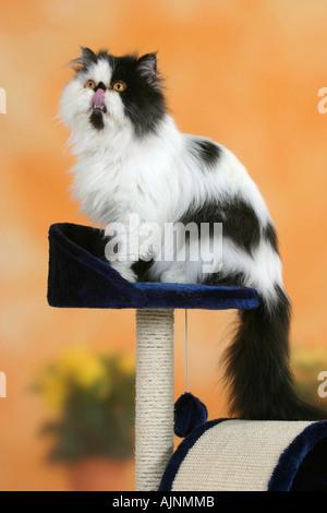 Gatto persiano tomcat bianco nero leccare la sua bocca Perserkatze Kater schwarz weiss auf Katzenbaum leckt sich Foto Stock