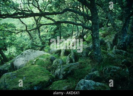 Twisted recedono antiche querce noto come legno Wistmans stand in una parte remota di Dartmoor a nord di due ponti Foto Stock