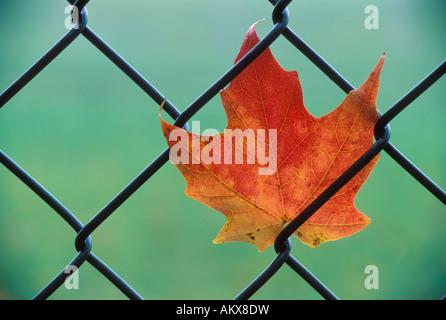 Caduta di colore Maple Leaf bloccato in una catena collegamento recinto Foto Stock