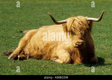 Highland mucca seduta nel campo Foto Stock