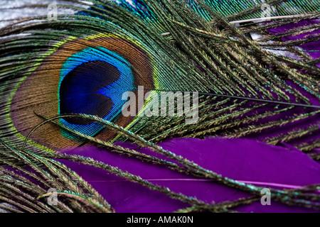 Piuma del pavone Foto Stock