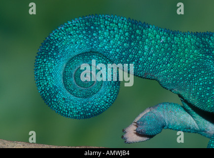 Coda di panther chameleon Furcifer pardalis Madagascar Foto Stock