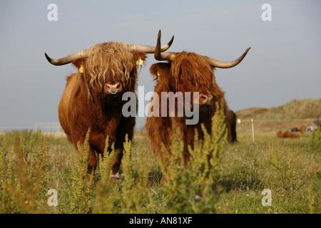 Highland scozzesi bovini (Bos primigenius f. taurus), Bull e la mucca sul prato, Germania, Bassa Sassonia, Insel Foto Stock