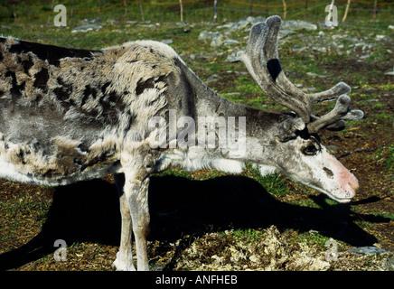 La renna in habitat naturale, Capo Nord Plateau, Capo Nord, Norvegia e Scandinavia Foto Stock