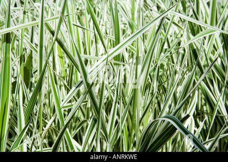 Nome comune: erbe - varigated Foto Stock