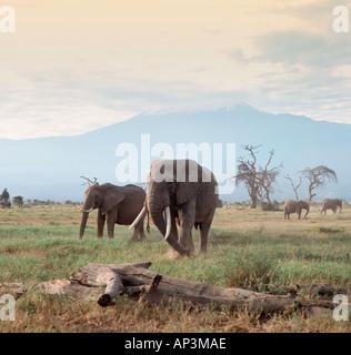 Gli elefanti nella parte anteriore del Monte Kilimanjaro, Amboseli National Park, Kenya, Africa orientale Foto Stock