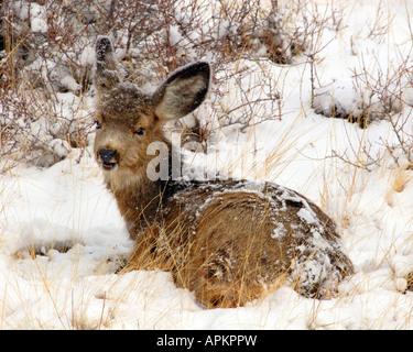 Mulo cervo nero-tailed deer (Odocoileus hemionus), fulvo giacente nella neve, STATI UNITI D'AMERICA Foto Stock