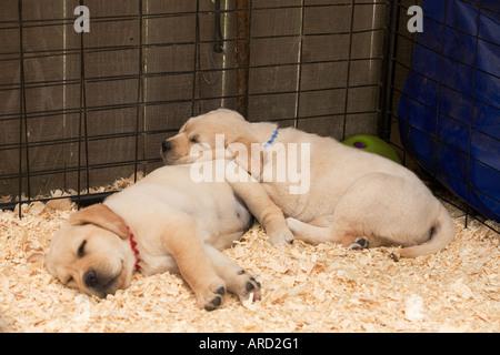 Laboratorio di giallo cuccioli addormentati nel canile Foto Stock