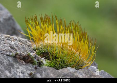 Vite a parete-moss, Tortula muralis, con sporophytes, che cresce su un muro di pietra calcarea. Derbyshire, Parco Foto Stock