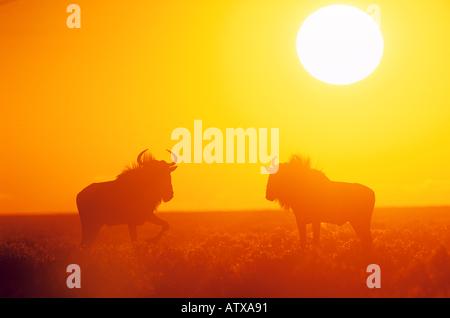 Due wildebeests blu nel tramonto / Connochaetes taurinus Foto Stock