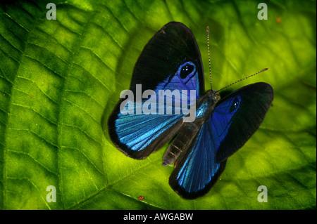 Blue Butterfly vicino a Cana la stazione di campo nel Parco Nazionale del Darién, provincia di Darien, Repubblica Foto Stock