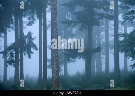 Misty Norvegia foreste di abete rosso (Picea abies), Nationalpark Bayerischer Wald (Parco Nazionale della Foresta Bavarese), in Baviera, Germania, Euro