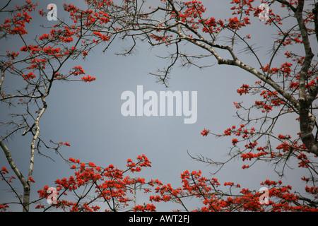 Fioritura albero vicino a Cana nel Parco Nazionale del Darién nella Repubblica di Panama Foto Stock
