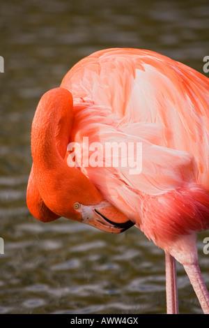 Flamingo preening,Bedfordshire,l'Inghilterra,Regno Unito Foto Stock
