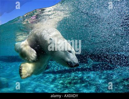 Orso polare immersioni subacquee Foto Stock