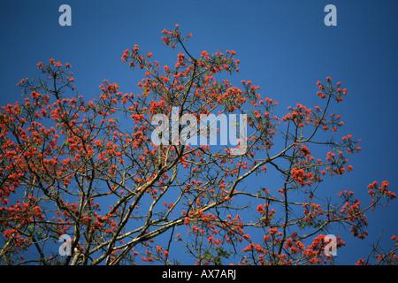 Fiori colorati su albero nel Parco Nazionale del Darién Repubblica di Panama Foto Stock