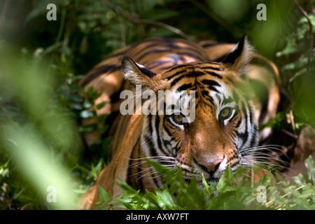 Femmina tigre indiana (Panthera tigris tigris) al cervo samba kill, Bandhavgarh National Park, Madhya Pradesh, India Foto Stock