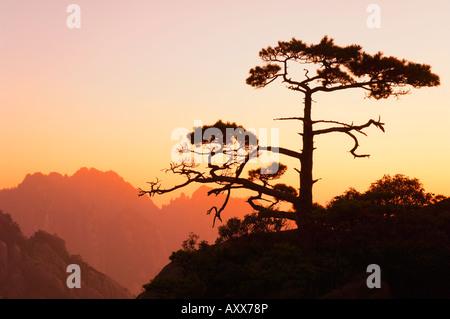 Pino, Nuvola Bianca Scenic Area, Huang Shan (gialle di montagna), il Sito Patrimonio Mondiale dell'UNESCO, provincia Foto Stock