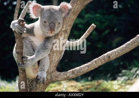 Il Koala recare in un albero in cattività, Australia Pacific Foto Stock