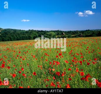 Campo di papavero in una limpida giornata d'estate, Darenth Valley, Kent, England, Regno Unito
