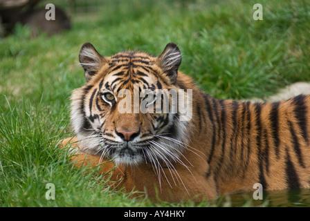 Una femmina di tigre di Sumatra (Panthera tigris Sumatrae) residente presso la fauna selvatica del patrimonio della Foto Stock