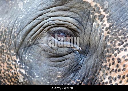 Captive elefanti occhio in un elefante santuario. Il Kerala, India Foto Stock