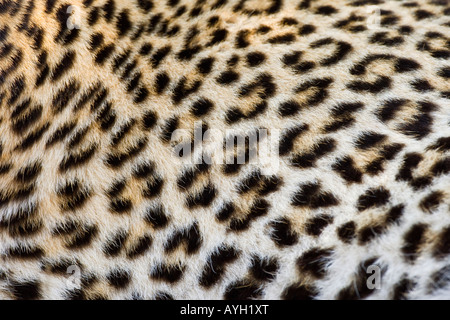 Close up di Leopard, il maggiore parco nazionale Kruger, Sud Africa Foto Stock