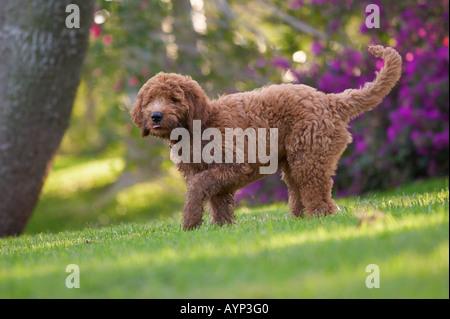 Golden doodle cane cucciolo cani retriver poodle verde erba cespugli di fiori Foto Stock