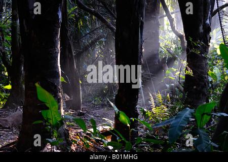 Primi raggi solari del mattino in un caldo misty la foresta pluviale tropicale jungle Osa Peninsula Carate Costa Rica