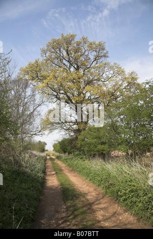 Nuova molla lascia inglese di quercia in Vicolo del paese, Butley, Suffolk, Inghilterra Foto Stock
