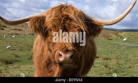 Ritratto di highland mucca su Levisham Moor, North Yorkshire, Regno Unito Foto Stock