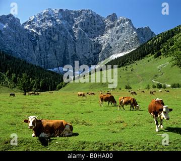 Le mucche al pascolo su Engalm pascolo alpino, Grosser Ahornboden, Grubenkarwand, gamma Karwendel, Tirolo, Austria Foto Stock