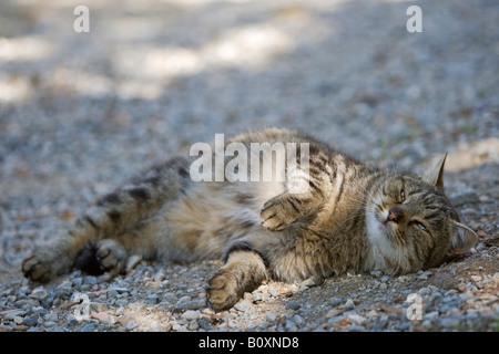 Gatto sdraiato sulla strada, ritratto Foto Stock