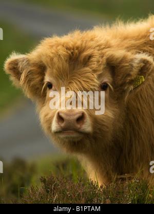 Colpo di testa di un giovane highland mucca e vitello. Foto Stock