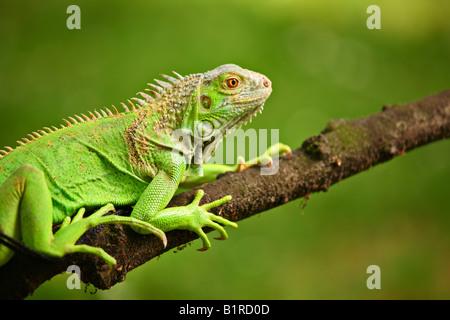 Iguana su un ramo Foto Stock
