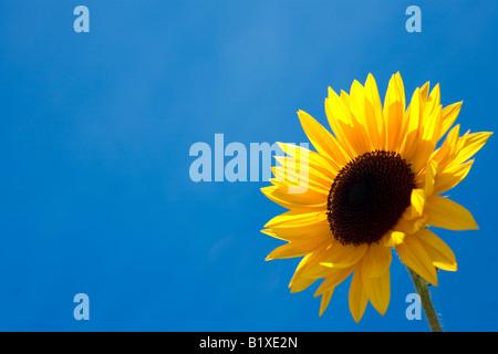Sun Flower contro il cielo blu Foto Stock