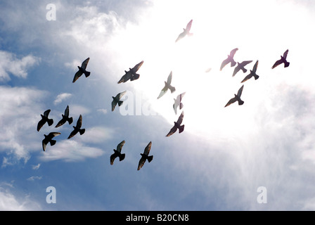 Stormo di piccioni viaggiatori visto contro il sole, REGNO UNITO Foto Stock