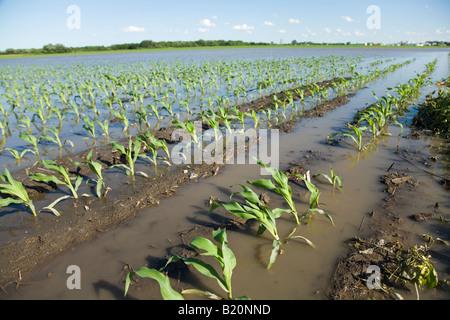 WISCONSIN Kenosha County filari di piante in allagato campo di grano a causa delle pesanti piogge di primavera Foto Stock